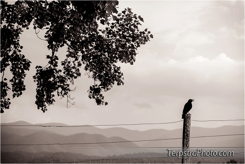 Black crow waiting